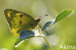 Oranje luzernevlinder (Colias croceus)