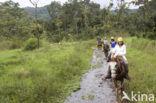 Paard (Equus spp)