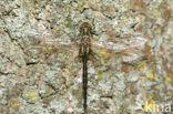 Gevlekte glanslibel (Somatochlora flavomaculata)