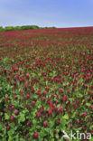 inkarnaatklaver (Trifolium incarnatum)