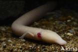 Olm (Proteus anguinus)