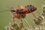 Rode roofwants (Rhynocoris iracundus)