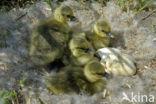 Grauwe Gans (Anser anser)