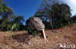 Komodovaraan (Varanus komodoensis)