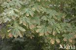 Paardenkastanje (Aesculus hippocastanum)