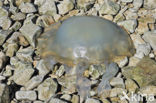 Zeepaddestoel (Rhizostoma octopus)