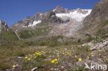 alpine hawkweed (Hieracium alpinum)