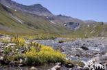 Gele bergsteenbreek (Saxifraga aizoides)