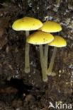 Goudgele hertezwam (Pluteus leoninus)