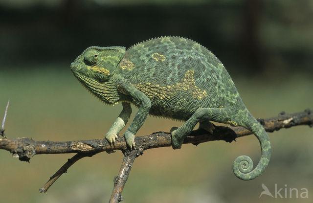 Kameleon (Chamaeleo)