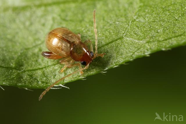 Longitarsus succineus