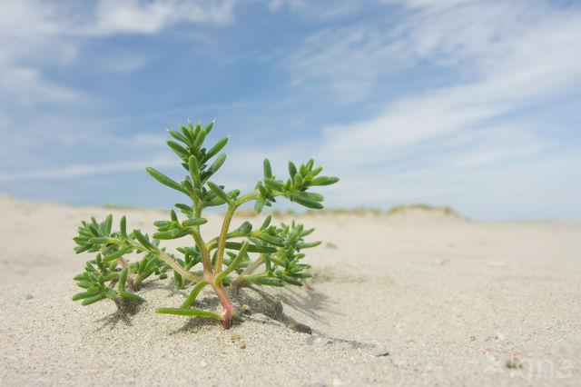 Stekend loogkruid (Salsola kali subsp. kali)