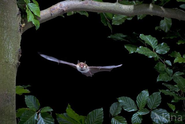 Franjestaart (Myotis nattereri)