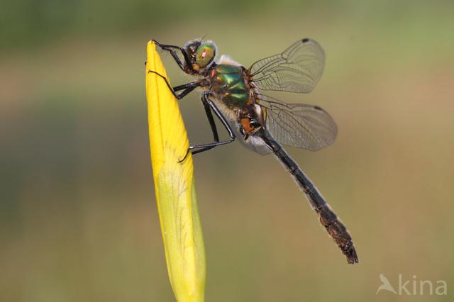 Smaragdlibel (Cordulia aenea)