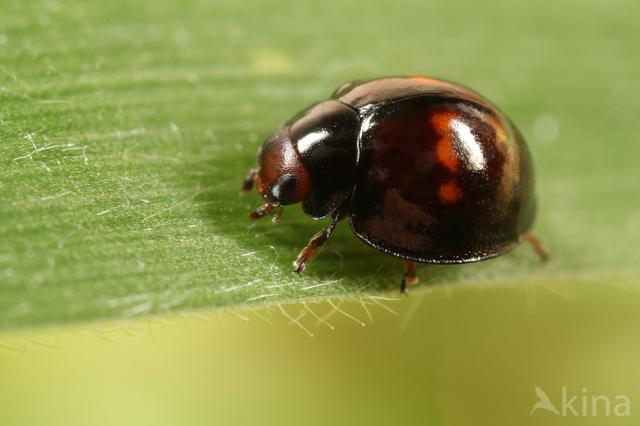 Heidelieveheersbeestje (Chilocorus bipustulatus
