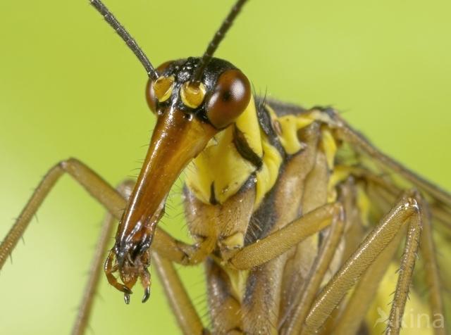 Schorpioenvlieg (Panorpa communis)