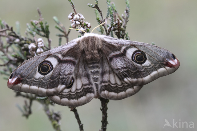 Kleine nachtpauwoog (Saturnia pavonia)