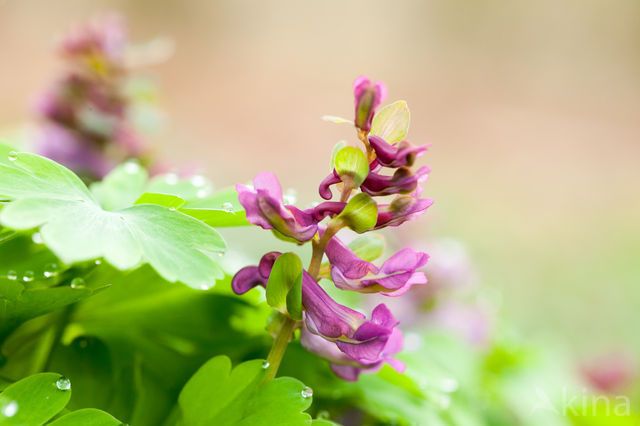 Holwortel (Corydalis cava)