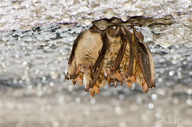 Ingekorven vleermuis (Myotis emarginatus)